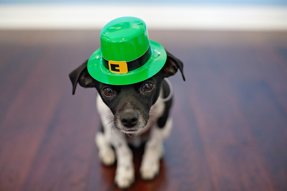 small dog in St. Patrick's Day hat