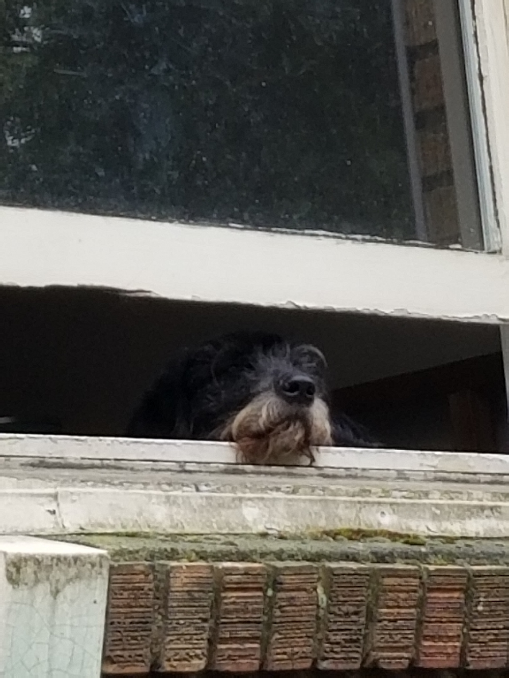 black dog with graying muzzle with nose out open window