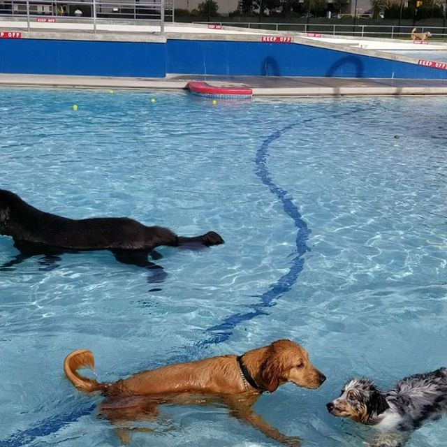 3 dogs, 1 black, 1 tan, 1 spotted playing in the pool