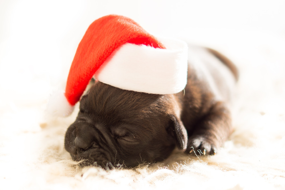 puppy sleeping with santa hat