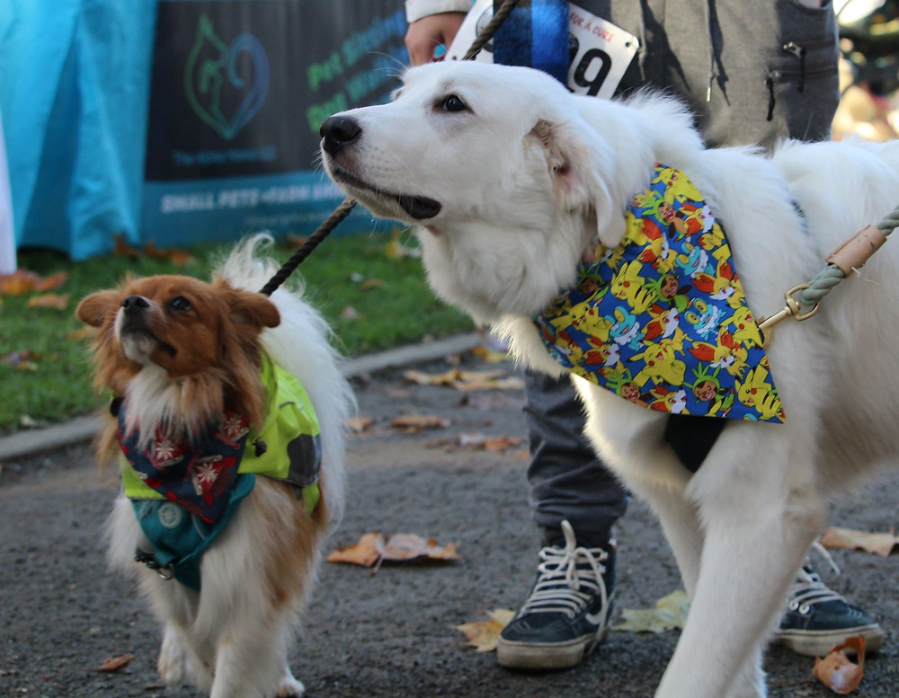 Pomeranian and white Retriever with bandannas on out for a walk