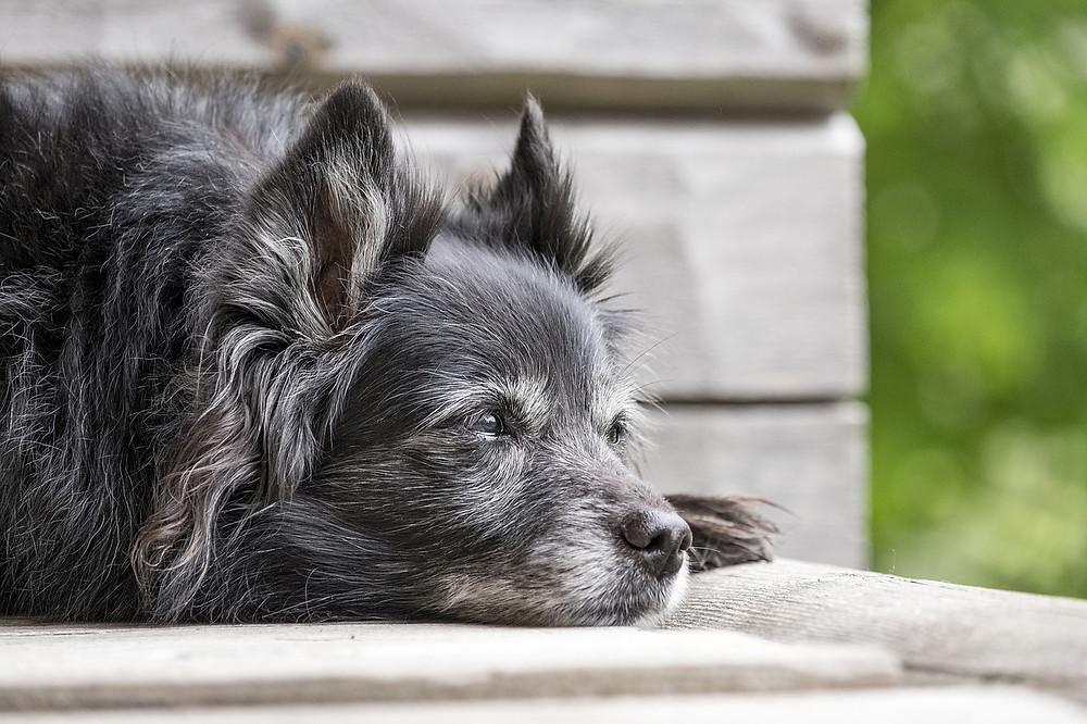 older black dog with white muzzle sleeping
