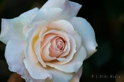 Pink Rose 2