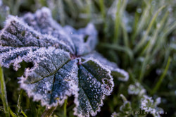 Frost Leaf 1