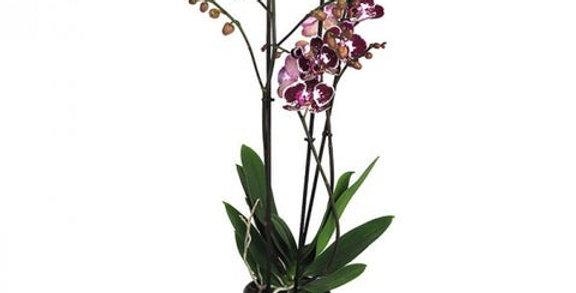 Phalaenopsis 3 varas con tiesto