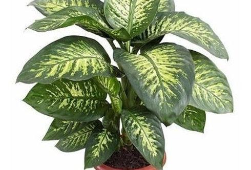 Dieffenbachia tropic