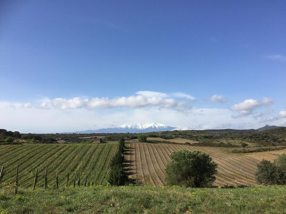 Vignoble conduit en agriculture biologique (gauche) vs conventionnelle (droite), à Calce, Languedoc Roussillon ©Stéphanie Dupuy