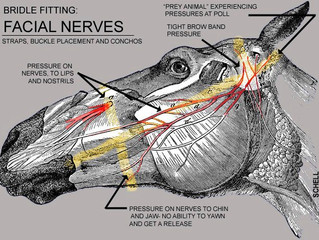 Bridle Fitting: Facial Nerves
