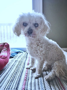 geriatric poodle in hospice