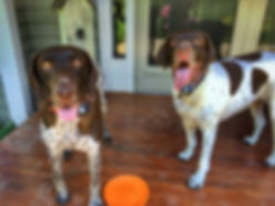 German shorthair dogs with a pet sitter in Dexter, MI