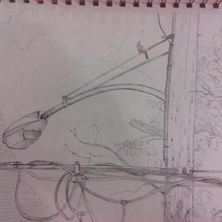 Cardinal Sketch