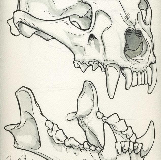 Female Wolverine Skull Sketch