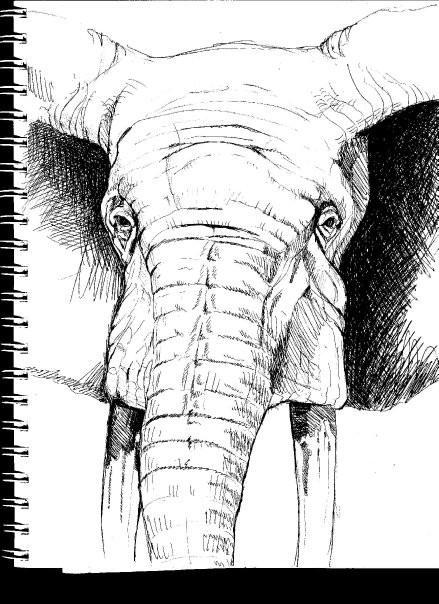 Elephant Face Sketch