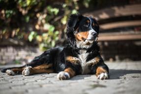animal-baby-dog-bernasen-132676.jpg