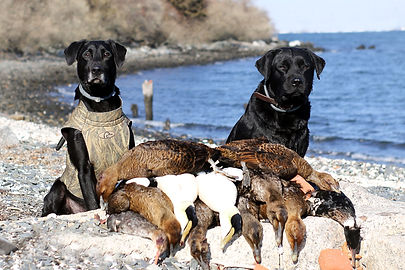 Two duck hunting labs with sea ducks