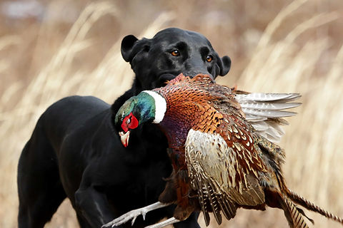 Upland hunting black lab with phesant