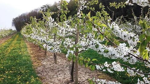 Limberg Kirschbäume