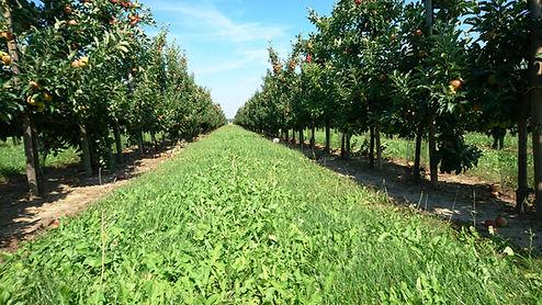 Plantage, ApfApfelgarten Baumreihe, Wiese, Rasen, professioneller Anbau, apfelplantage