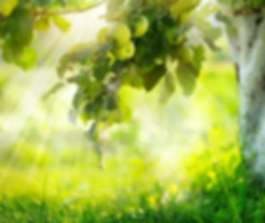 Apfelplantage, Apfelbäume, Apfelbaumanlage, Apfelblüte,