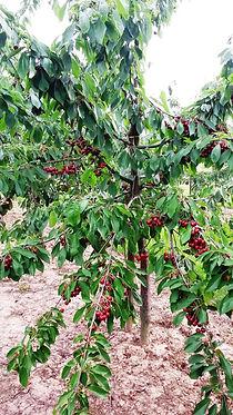 Kirschbaum, Kirschen, rote Kirschen, Kirschplantage,