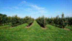 Apfelgarten Baumreihen, Plantage, Apfelplantage, Baumreihen