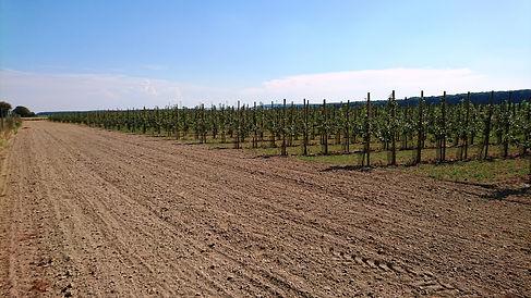 Neue Anlange Wietlage, Baumanlage, Plantage, Acker, Baumreihen
