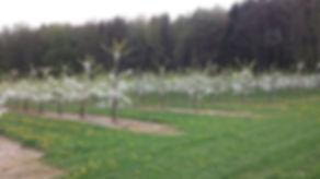 Kirschbaum Blüte, Kirschbäume, Kirschblüte, Plantage