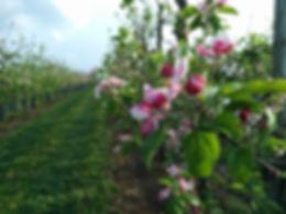 Apfelbaum Blüte, Apfelblüte, Baumreihe, Blüte,