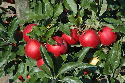 Gala Äpfel rot