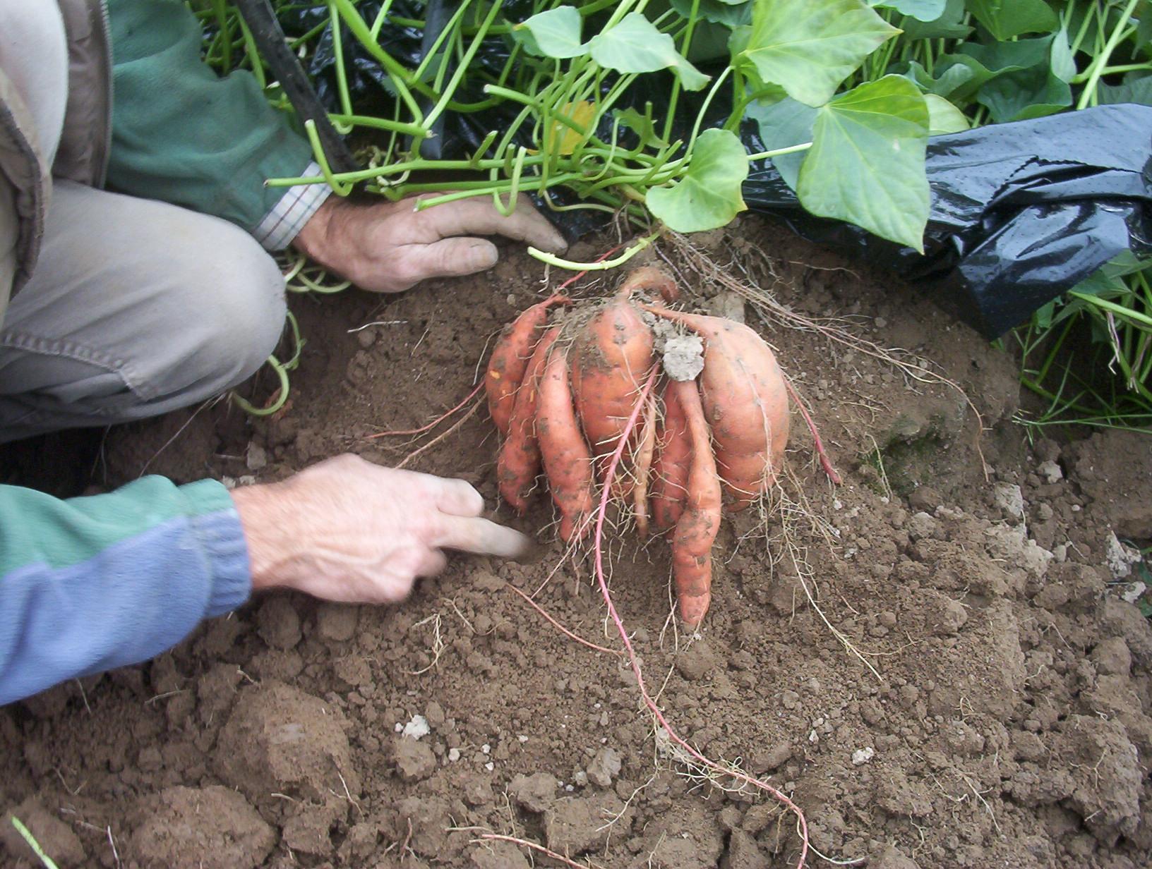 Tubers at harvest