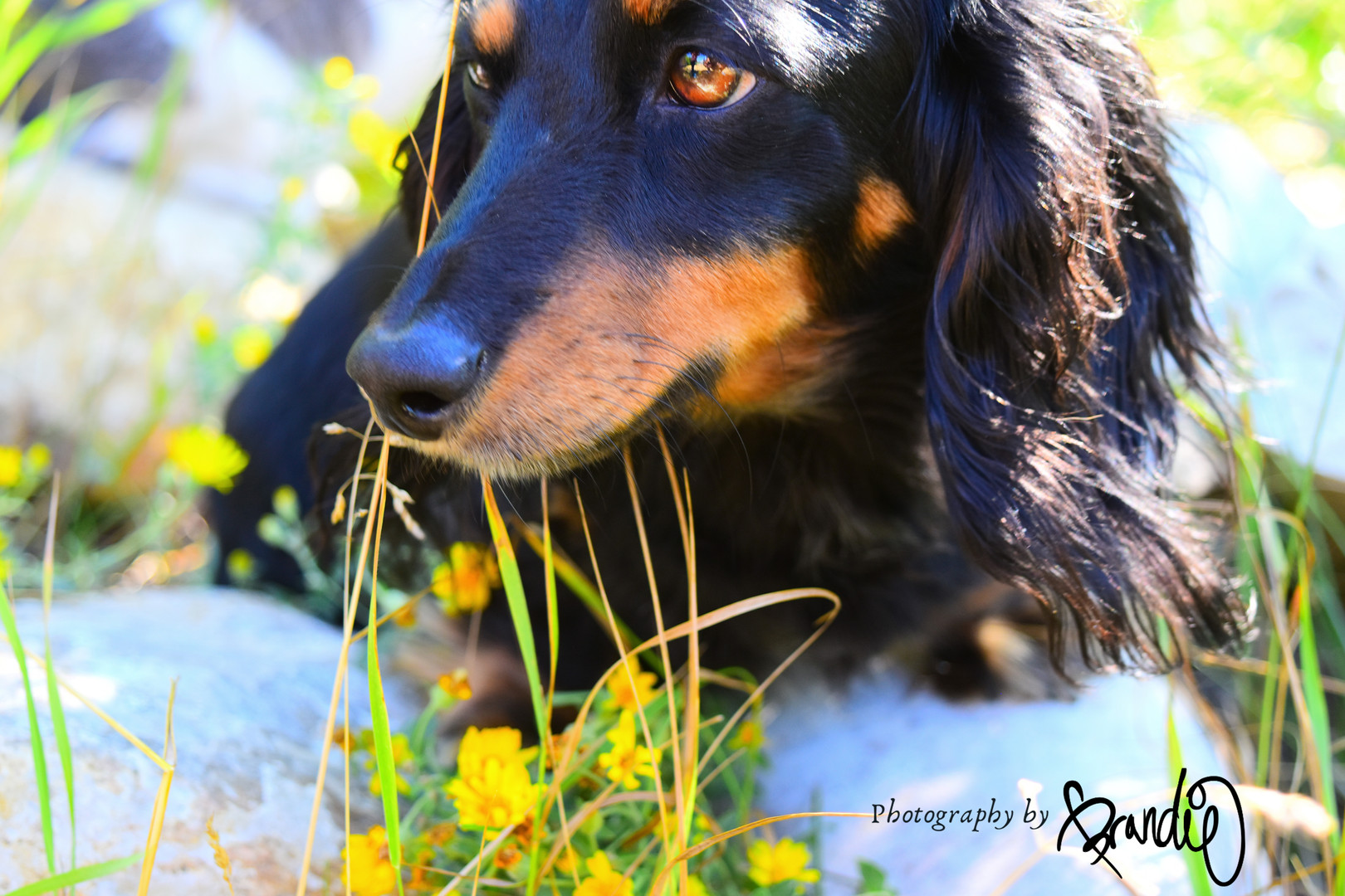 Dachshund Photography by Brandie