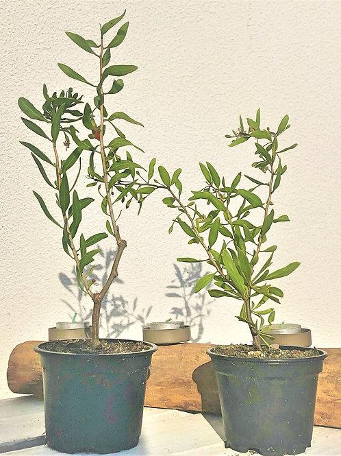 Planta - GOJI