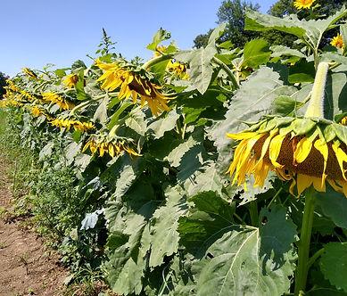 Dying Sunflowers.jpg