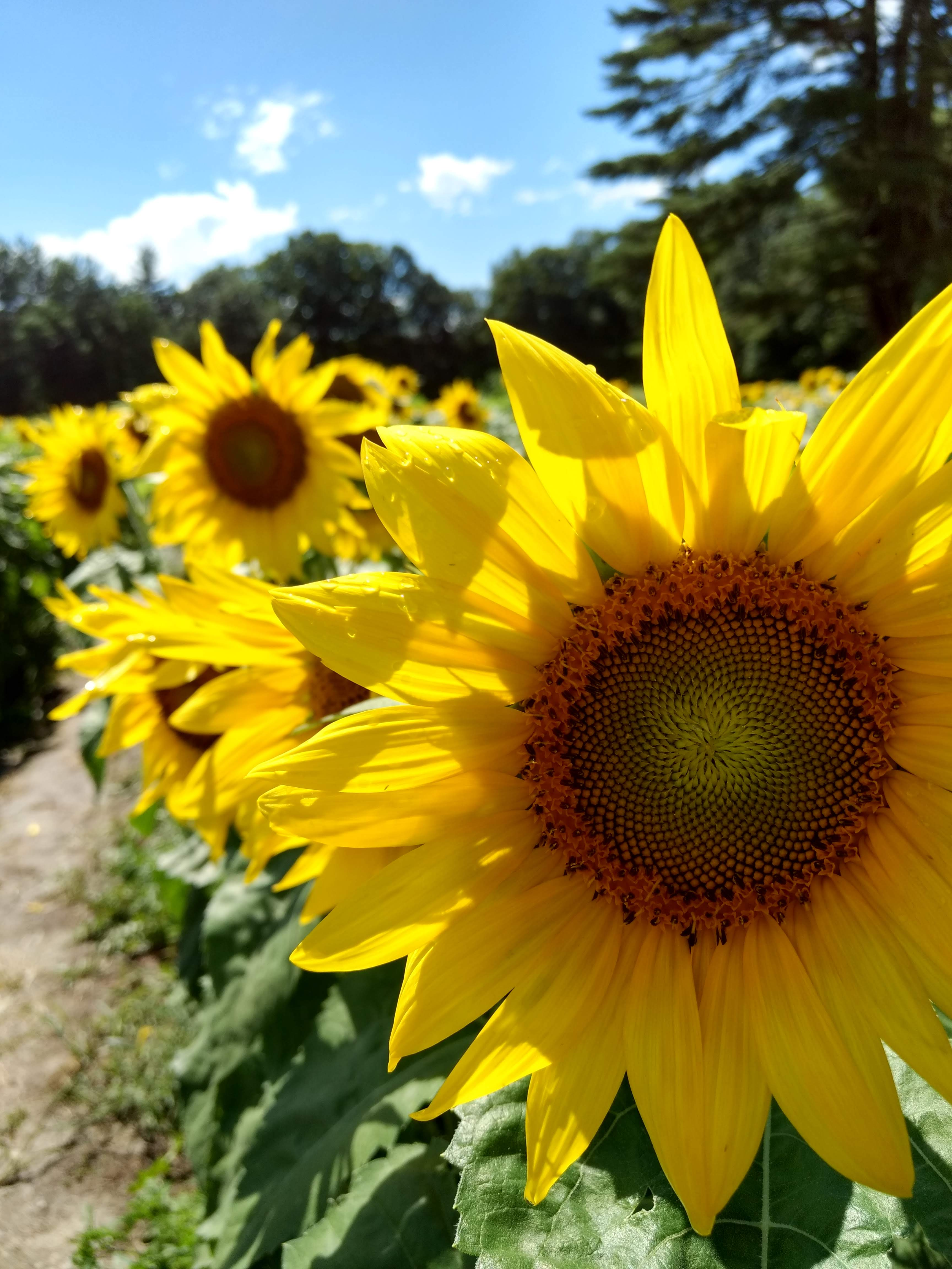 Sunflowers 2018 (3)