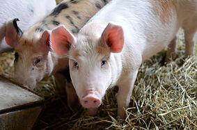 PigsWeb.jpg