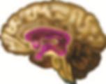 Brain.tif