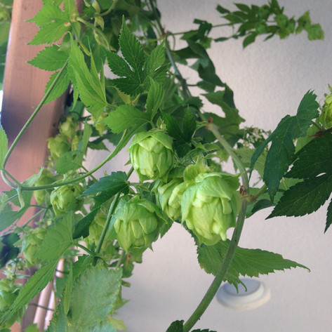 Hops Growing Out Front