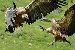 Autour des vautours