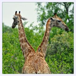 Girafe_bicéphale