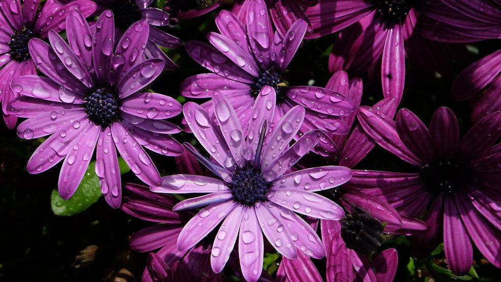 Closeup_Osteospermum_Violet_Drops_570972