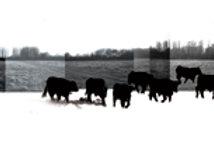 Bulls Panoramic