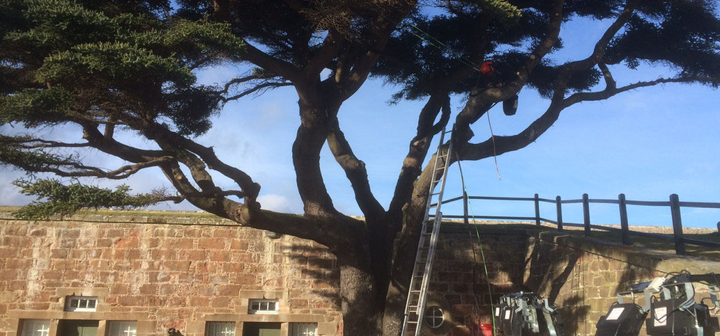 ladder leaning against tree with tree surgeons up tree.jpg