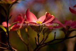 Dogwood Dream