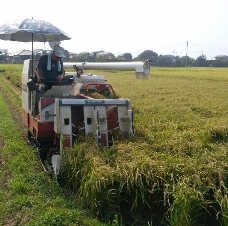 遅ればせながら30年産「五百川」の収穫画像です