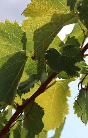Les vignes en été
