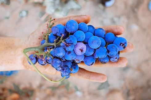 grape-raisin-grenache
