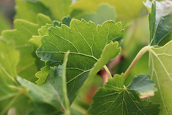 feuilles-vigne-2