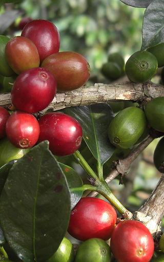 Coffee Cherry Farming