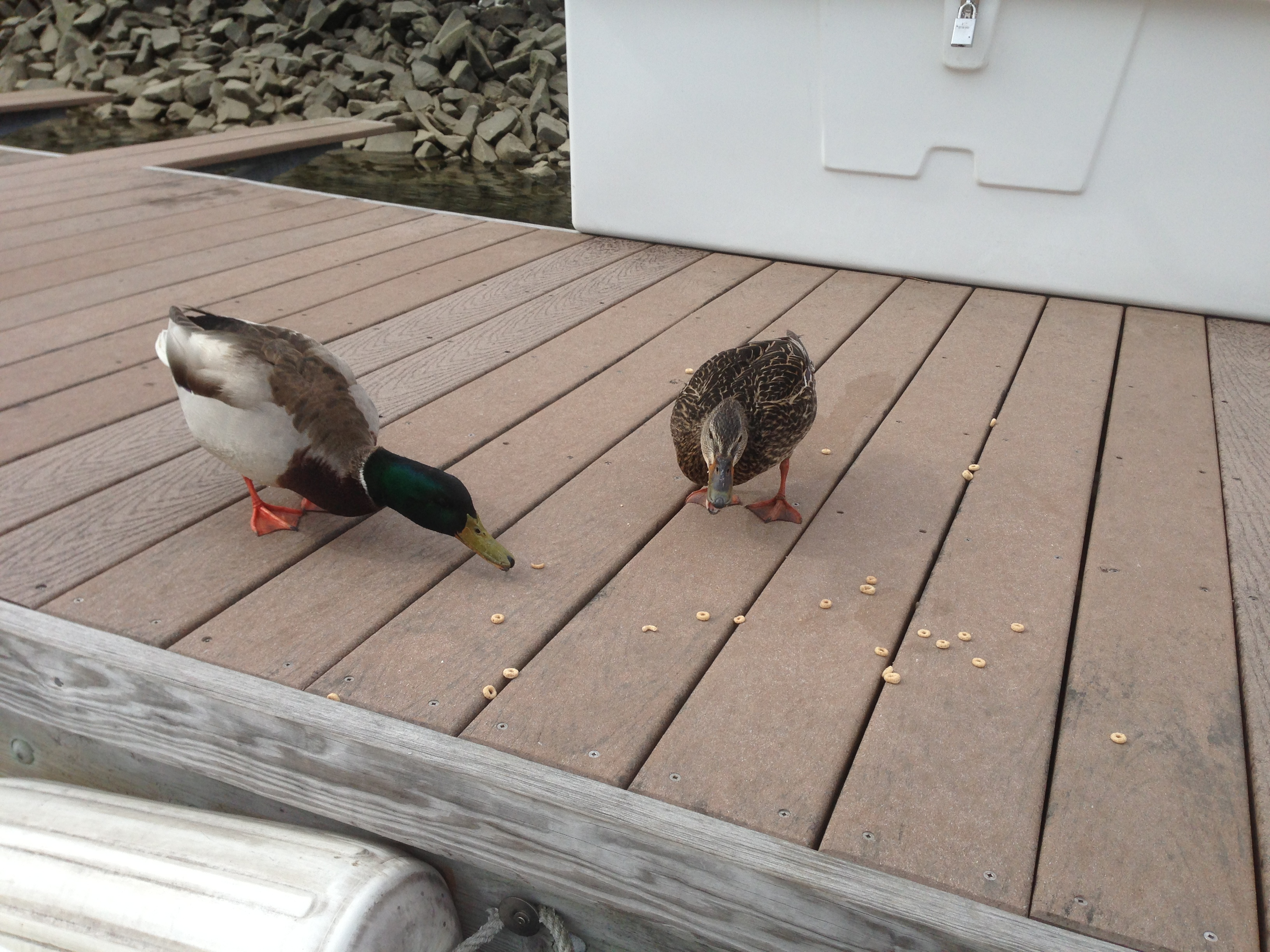 Our I dock ducks.
