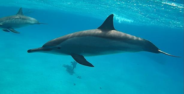 Spinner Delfin im Roten Meer